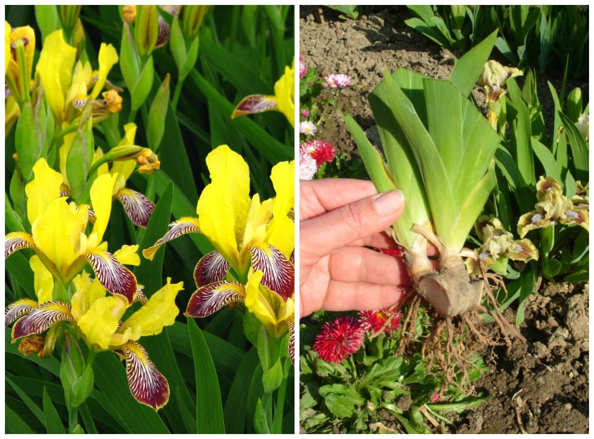 Цветы когда обрезать ирисы