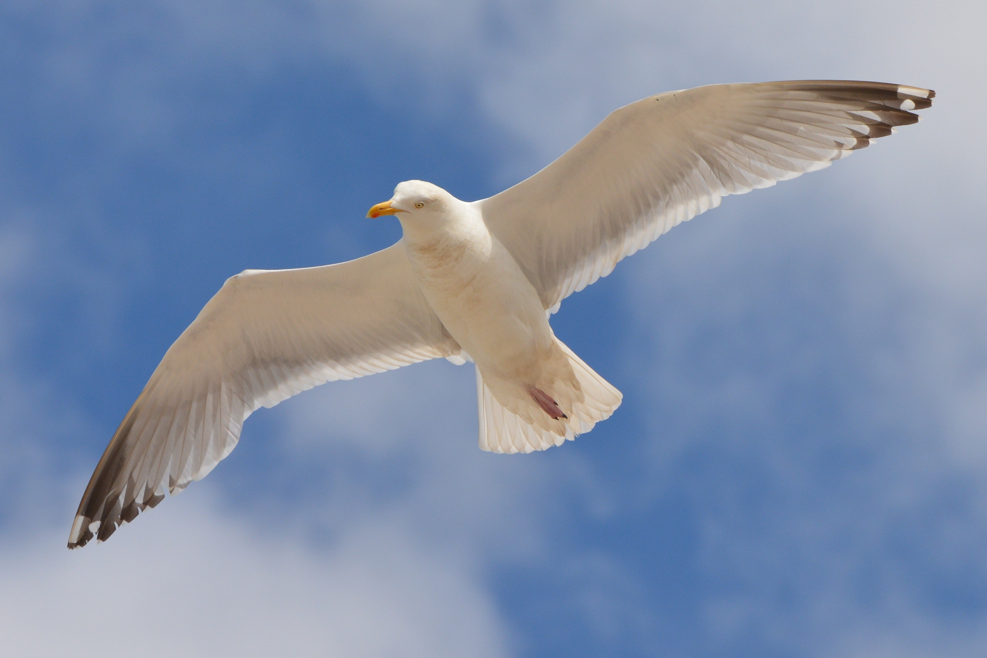 seagull-1518836