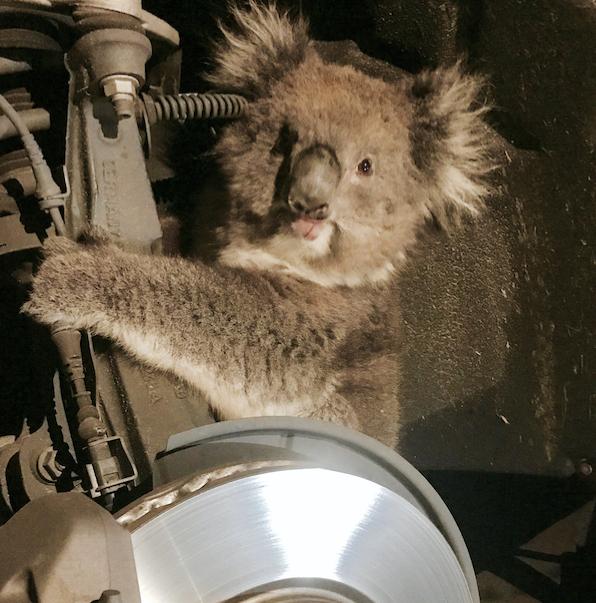 ВАвстралии коала одолела 16км наоси колеса джипа