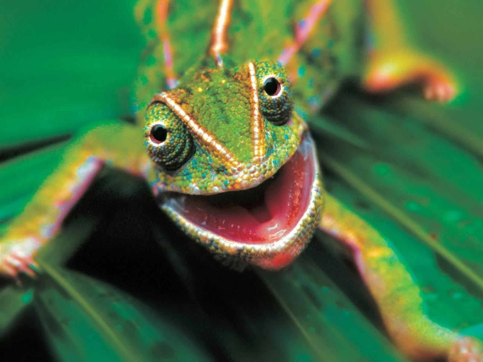 chameleon_-_reptilia