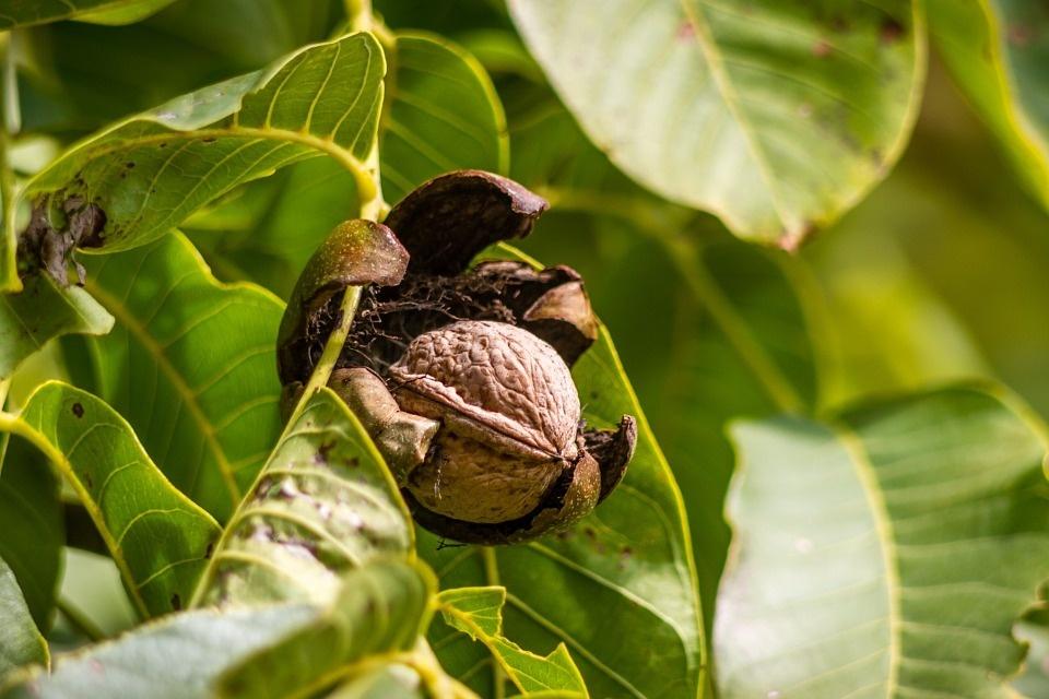 walnut-970451_960_720