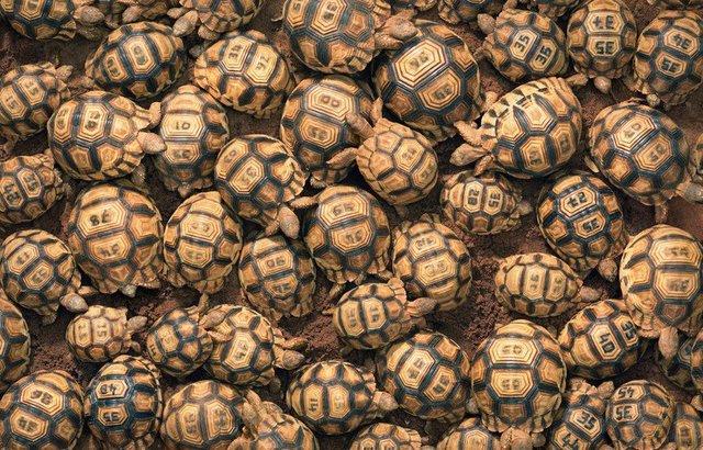 Картинки по запросу мадагаскарская клювогрудая черепаха