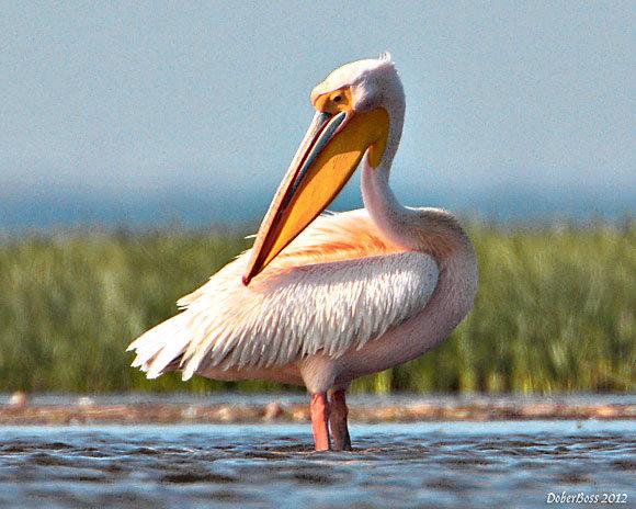 Розовый пеликан. «Визитка» заповедника