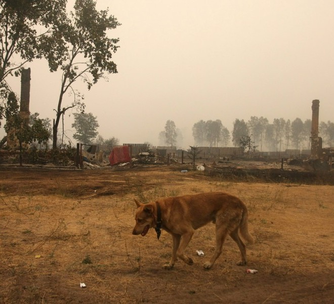 A dog walks in the burnt village of Beloomut, some 130 kilometers from Moscow on July 31, 2010. Hundreds of thousands of firefighters, including army troops, battled forest fires raging across central Russia in the worst heatwave for decades, destroying houses and killing more than 30 people. A total of 238,000 firefighters are battling the flames in 14 regions, along with 226 aircraft, the emergency ministry said Saturday, calling the situation under control.  AFP PHOTO/ ANDREY SMIRNOV