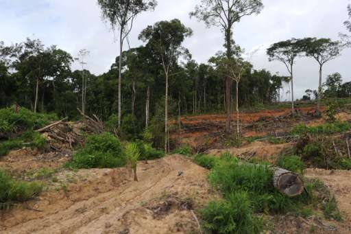 This photograph taken during a media trip organized by Sinar Mas on August 2, 2010 shows a newly planted palm oil trees at a cleared area bounded by a forest conservation area seen in the background at a concession of PT SMART, the palm oil unit of Sinar Mas, in Ketapang district in West Kalimantan province on Borneo island. SMART, Indonesia's biggest palm oil producer, said on August 10, it had been cleared of allegations made by environmental group Greenpeace that it had destroyed high conservation-value forests on Borneo. A report commissioned by SMART found that it was not to blame for widespread destruction of Borneo's forests as repeatedly alleged by Greenpeace, the company said. The investigation was carried out by Control Union Certifications and BSI Group.  AFP PHOTO / ROMEO GACAD
