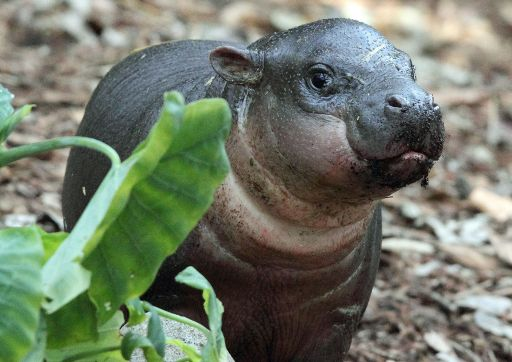 A handout photo taken and released on August 5, 2010 shows the first pygmy hippo calf called 'Kambiri' and which is the first to be reared by its mother at Sydney's Taronga Zoo in over 20 years.  Born on June 26 2010, weighing a very healthy 5.3 kilograms, the Zoo is delighted to report that Kambiri has doubled her birth weight and now tips the scales over 13 kilograms, putting on about 300 grams a day.  Pygmy Hippos are a solitary forest-dwelling creature native to West Africa and little is known about them in the wild with the majority of research recorded about the species learned from those cared for in zoos.  The World Conservation Union estimates that there are fewer than 3000 Pygmy Hippos remaining in the wild.  HANDOUT RESTRICTED TO EDITORIAL USE AND EDITORIAL SALES  AFP PHOTO/HO/TARONGA ZOO/Rick STEVENS
