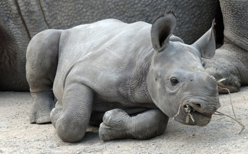 "A newly-born black rhinoceros baby named ""Kiwidi"" lays next to its mother ""Nane"" at the zoo in the western German city of Krefeld on August 6, 2010. The young rhino was born on July 30, 2010 at the zoo. AFP PHOTO / HORST OSSINGER   GERMANY OUT"