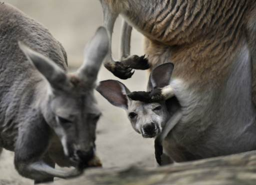 A four week old Giant Red Kangaroo baby looks at another kangaroo eat from it's mother's pouch at the Zoo in Berlin, August 10, 2010. Giant Red Kangaroos is common all over the Australian continent and a hit with visitors to the zoo in the German capital. With a weight of up to 90 kg full-grown Giant Red Kanagaroo males are the largest living marsupials.  AFP PHOTO / ODD ANDERSEN