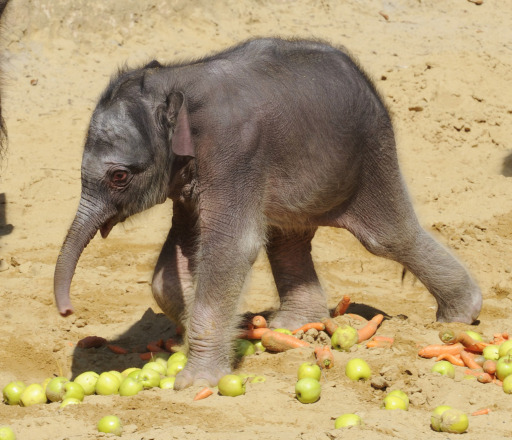 A five-day-old baby elephant walks in its enclosure at the zoo in the northern German city of Hanover on August 10, 2010. AFP PHOTO /  HOLGER HOLLEMANN   GERMANY OUT