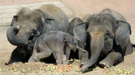 A five-day-old baby elephant walks in its enclosure next to his mother Manari (L) and his aunt Sayang (R) in the zoo in the northern German city of Hanover on August 10, 2010. AFP PHOTO /  HOLGER HOLLEMANN   GERMANY OUT
