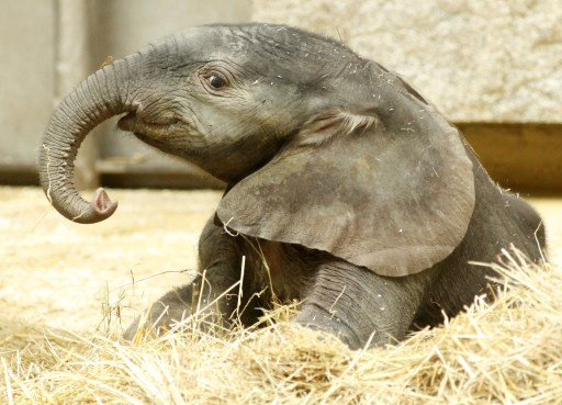 A five-day old male elephant is pictured in Schoenbrunn zoo on August 11, 2010 in Vienna. The Schoenbrunn zoo is part of the imperial summer residence of Schoenbrunn, a UNESCO World Heritage Site, and the world's oldest zoo, according to its website. AFP PHOTO/DIETER NAGL