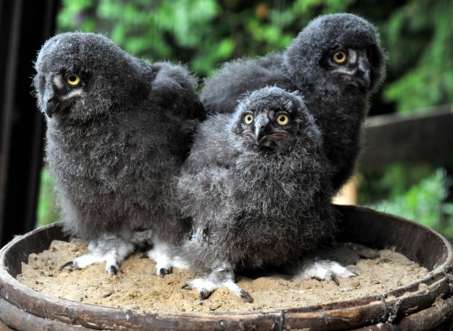 Three snowy owls chicks stand on a barrel in Hanover zoo, northern Germany on August 4, 2010. The birds are also known in North America as the Arctic Owl. AFP PHOTO / JOECHEN LUEBKE  GERMANY OUT
