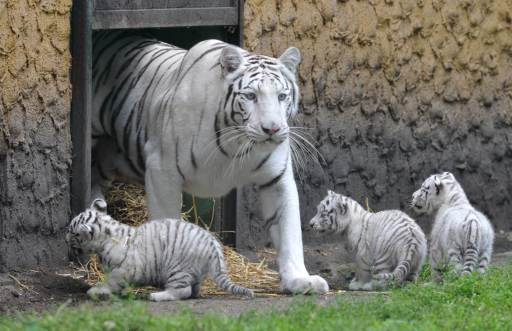 Three white tiger cubs are supervised by their mother Bianca on August 25, 2010 at the Serengeti animal park in Hodenhagen, central Germany. Four white baby tigers were born at the park on July 14, 2010. AFP PHOTO JOCHEN LUEBKE GERMANY OUT