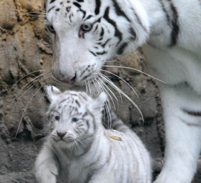 A white tiger cub is carried by its mother Bianca on August 25, 2010 at the Serengeti animal park in Hodenhagen, central Germany. Four white baby tigers were born at the park on July 14, 2010. AFP PHOTO JOCHEN LUEBKE GERMANY OUT