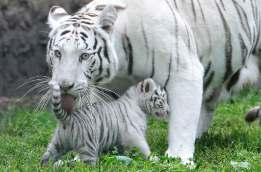 A white tiger cub is licked clean by its mother Bianca on August 25, 2010 at the Serengeti animal park in Hodenhagen, central Germany. Four white baby tigers were born at the park on July 14, 2010. AFP PHOTO JOCHEN LUEBKE GERMANY OUT