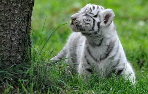 A white tiger cub strolls through its enclosure during its first outing on August 25, 2010 at the Serengeti animal park in Hodenhagen, central Germany. Four white baby tigers were born at the park on July 14, 2010. AFP PHOTO JOCHEN LUEBKE GERMANY OUT