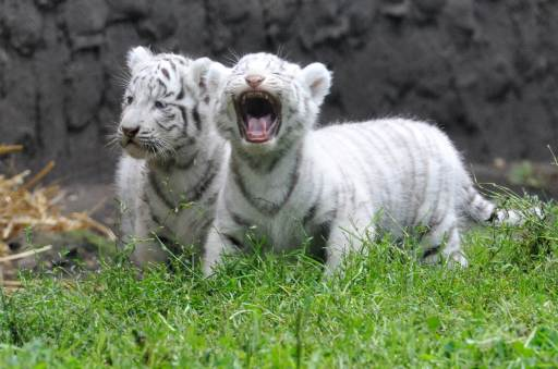 Two white tiger cubs stroll through their enclosure during their first outing on August 25, 2010 at the Serengeti animal park in Hodenhagen, central Germany. Four white baby tigers were born at the park on July 14, 2010. AFP PHOTO JOCHEN LUEBKE GERMANY OUT