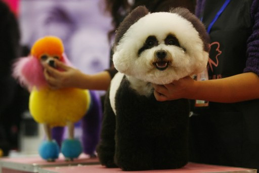 A dog accompanied by its owner prepares to take part in a pet beauty show during the sixth China Pet Fair in Wuhan, central China's Hubei province on November 5, 2010. Pet care in China is expected to maintain steady growth over the upcoming years, with China an attractive market to manufactures and distributors of pet products. There are an estimated 200 million-plus pets in China, a number expected to grow to 500 million by 2015.  CHINA OUT AFP PHOTO