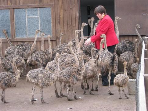 Сколько живут страусы в домашних условиях
