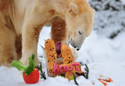 "The world's most famous polar bear Knut eats his ""birthday cake"" on his fourth birthday in his snow-covered enclosure at the Tiergarten zoo in Berlin, on December 5, 2010 in Berlin. AFP PHOTO JOHANNES EISELE"