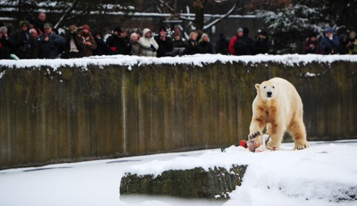 "Visitors watch as the world's most famous polar bear Knut eats his ""birthday cake"" on his fourth birthday in his snow-covered enclosure at the Tiergarten zoo in Berlin, on December 5, 2010 in Berlin. AFP PHOTO JOHANNES EISELE"