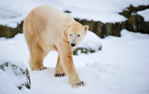 The world's most famous polar bear Knut walks in the snow in his enclosure on his fourth birthday at the Tiergarten zoo in Berlin, on December 5, 2010 in Berlin. AFP PHOTO JOHANNES EISELE