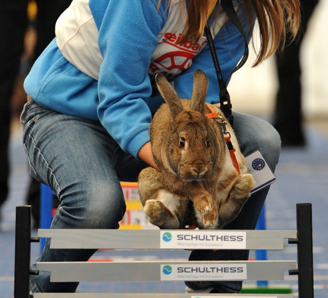 WOLLERAU, SWITZERLAND - OCTOBER 30:  A girl helps her rabbit over a hurdle at an obstacle course during the first European rabbit hopping championships, which Lada Sipova-Krecova of Czech Republic won, on October 30, 2011 in Wollerau, Switzerland. Rabbit hopping is a growing trend among rabbit owners in Central Europe.  (Photo by Harold Cunningham/Getty Images)