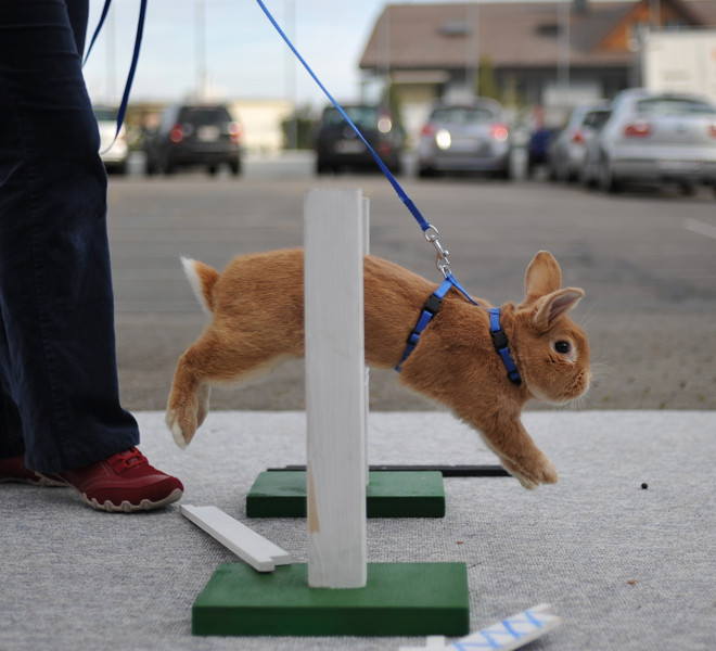 WOLLERAU, SWITZERLAND - OCTOBER 30:  A rabbit jumps over a hurdle at an obstacle course during a training session prior to the first European rabbit hopping championships, which Lada Sipova-Krecova of Czech Republic won, on October 30, 2011 in Wollerau, Switzerland. Rabbit hopping is a growing trend among rabbit owners in Central Europe.  (Photo by Harold Cunningham/Getty Images)