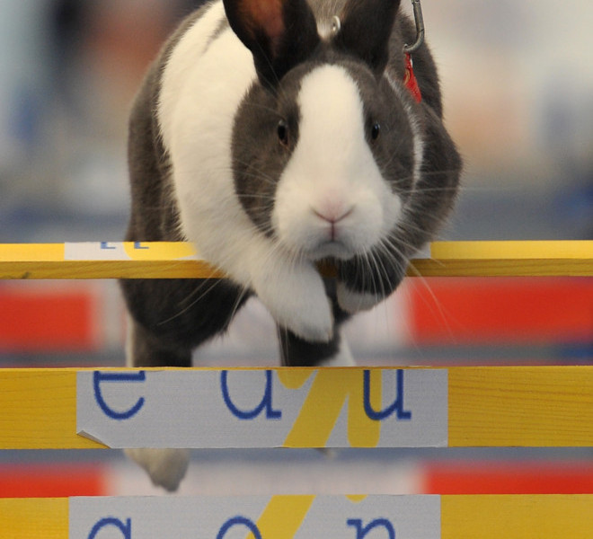 WOLLERAU, SWITZERLAND - OCTOBER 30:  A rabbit jumps over a hurdle at an obstacle course during the first European rabbit hopping championships, which Lada Sipova-Krecova of Czech Republic won, on October 30, 2011 in Wollerau, Switzerland. Rabbit hopping is a growing trend among rabbit owners in Central Europe.  (Photo by Harold Cunningham/Getty Images)