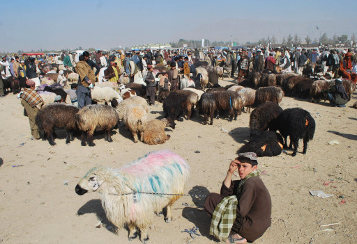 A young Pakistani vendor sits next to his sheeps as he waits for customers at an animal market for the Muslim Eid al-Adha festival in Quetta on November 3, 2011. Muslims across the world are preparing to celebrate the annual festival of Eid al-Adha, or the Festival of Sacrifice, which marks the end of the Hajj pilgrimage to Mecca and in commemoration of Prophet Abraham's readiness to sacrifice his son to show obedience to God. AFP PHOTO / BANARAS KHAN