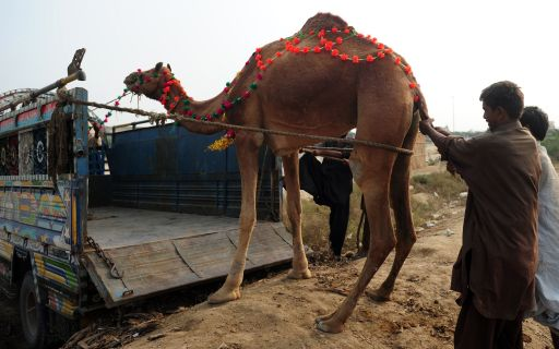 Pakistani Muslim men load a camel in a truck at an animal market as they prepare for the Muslim Eid al-Adha festival in Karachi, on November 2, 2011. Muslims across the world are preparing to celebrate the annual festival of Eid al-Adha, or the Festival of Sacrifice, which marks the end of the Hajj pilgrimage to Mecca and in commemoration of Prophet Abraham's readiness to sacrifice his son to show obedience to God. AFP PHOTO / RIZWAN TABASSUM