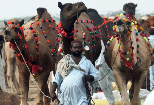 A Pakistani livestock trader walks with his camels as he waits for customers at a animal market for the Muslim festival of Eid al-Adha in Karachi on November 1, 2011. The annual Islamic holiday, which falls from November 7 to 8 in Pakistan, is marked by the ritual sacrifice after morning prayers of sheep, goats, cows and other livestock whose meat is then shared with the poor. AFP PHOTO / RIZWAN TABASSUM