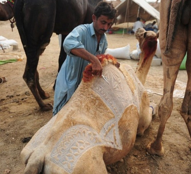 A Pakistani livestock trader decorates a camel to attract customers at an animal market for the Muslim festival of Eid al-Adha in Karachi on November 1, 2011. The annual Islamic holiday, which falls from November 7 to 8 in Pakistan, is marked by the ritual sacrifice after morning prayers of sheep, goats, cows and other livestock whose meat is then shared with the poor. AFP PHOTO / RIZWAN TABASSUM