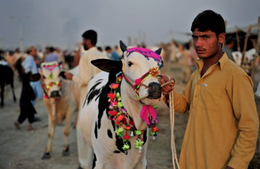A Pakistani Muslim man shows his bull to customers at an animal market for the traditional animal sacrifice festival Eid in Islamabad on November 1, 2011. The annual Islamic holiday, which falls from November 7 to 8 in Pakistan, is marked by the ritual sacrifice after morning prayers of sheep, goats, cows and other livestock whose meat is then shared with the poor.  AFP PHOTO/Farooq NAEEM