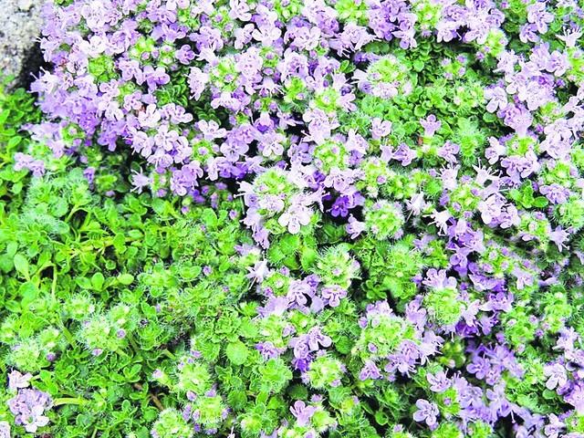 растение чанг шу