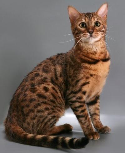 Топ 5 самых дорогих пород кошек - Последние мировые ...: http://www.segodnya.ua/world/top-5-samyh-dorogih-porod-koshek-483519.html