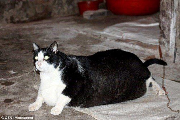 Фото самого толстого кота