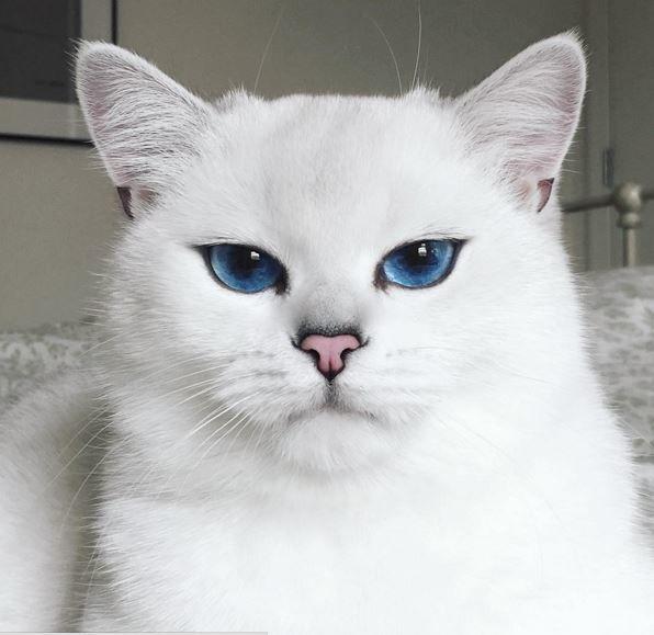 Коты белые с синими глазами