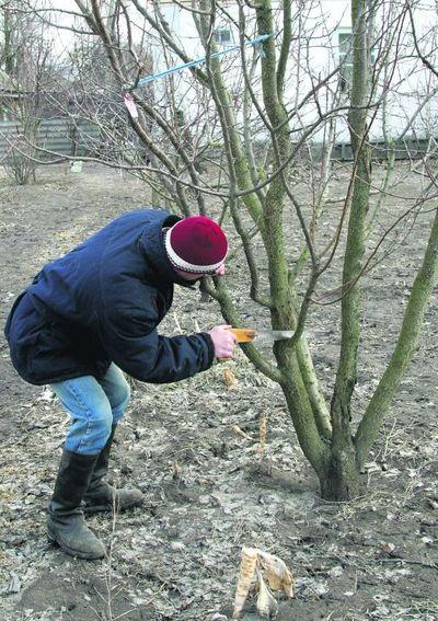 Обрезка плодовых деревьев осенью нужна для того, чтобы подготовить деревья к зимовке.  Выполняется осенняя обрезка с...